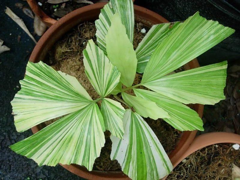 Финиковая пальма из косточки — как посадить дома