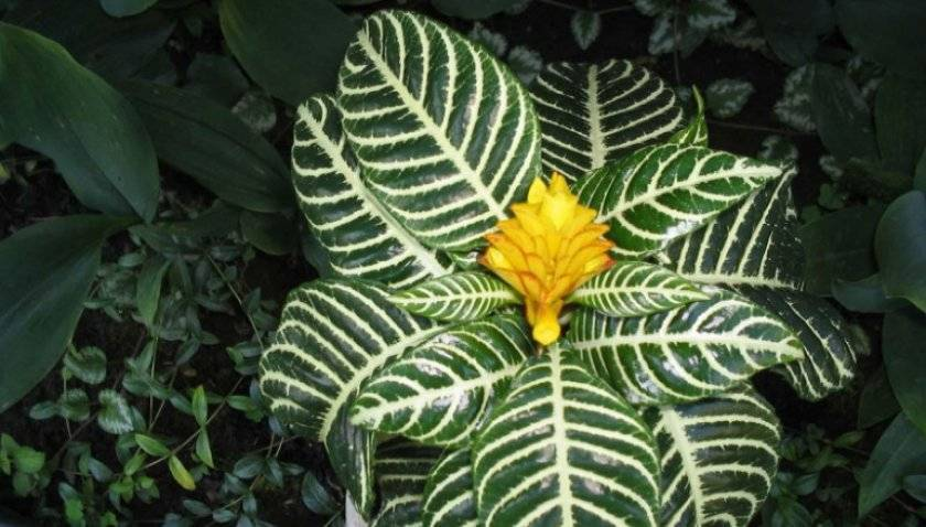 Афеландра — выращивание декоративных растений и обзор красивых вариантов применения цветка (105 фото и видео)