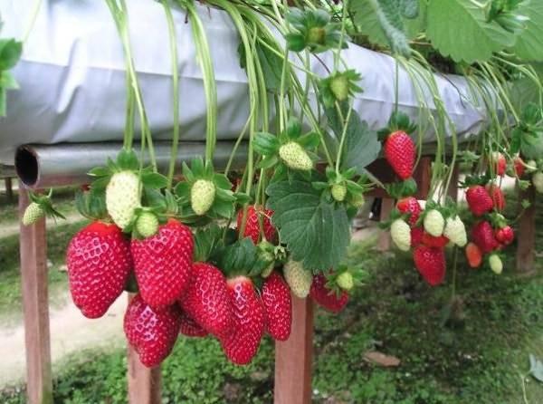 Выращивание клубники в теплице: секреты ухода