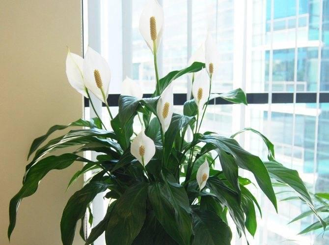 Почему не цветет спатифиллум, что делать, чтобы «женское счастье» обильно распускалось в доме?