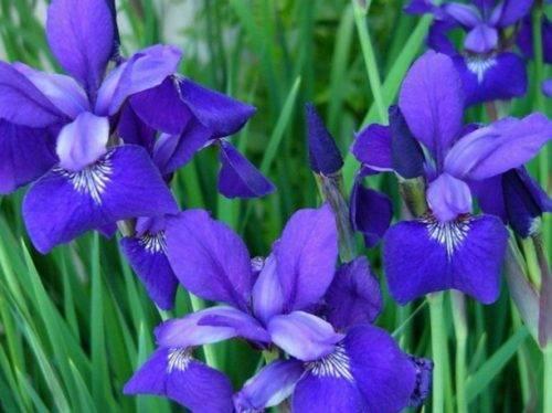 Чем подкормить ирисы весной перед цветением