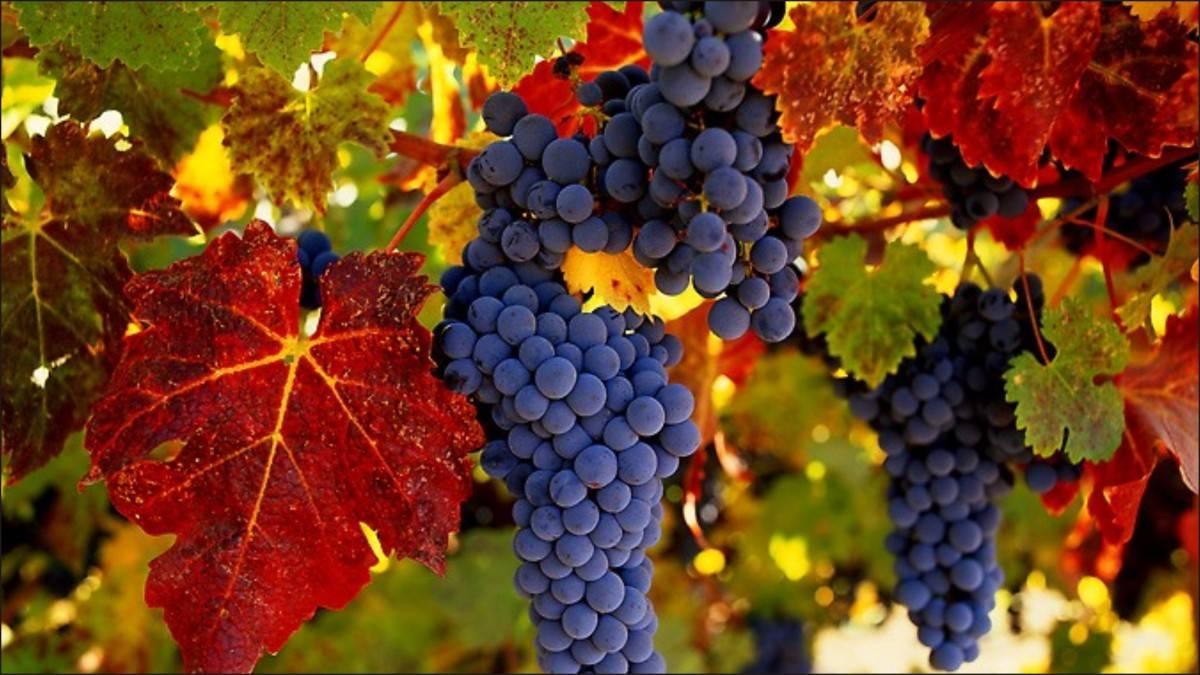 Как ухаживать за виноградом летом, чтобы получить хороший урожай