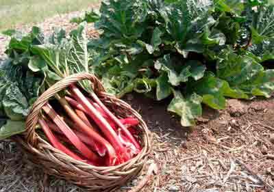 Ревень — вкусные черешки, целебный корень
