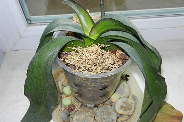 Основные причины, почему сохнут листья у орхидеи фаленопсис