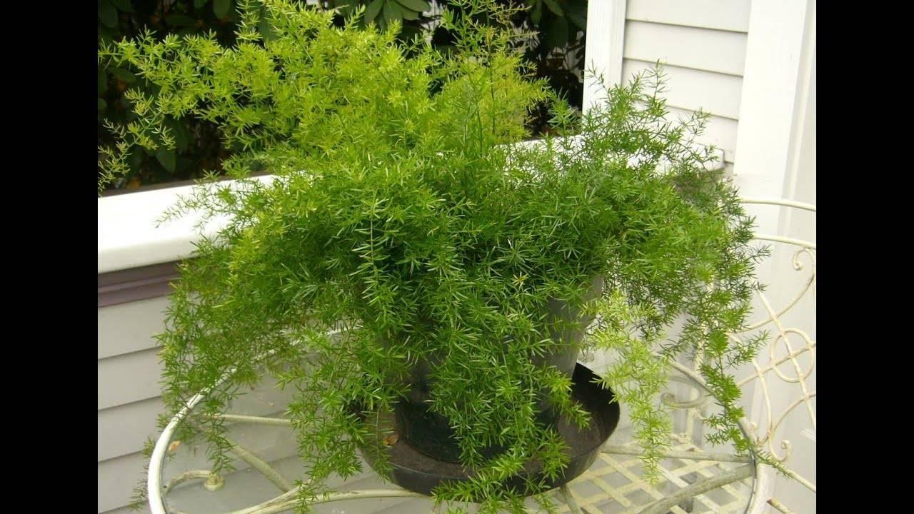 Аспарагус шпренгера — лучший вариант для каскадного озеленения