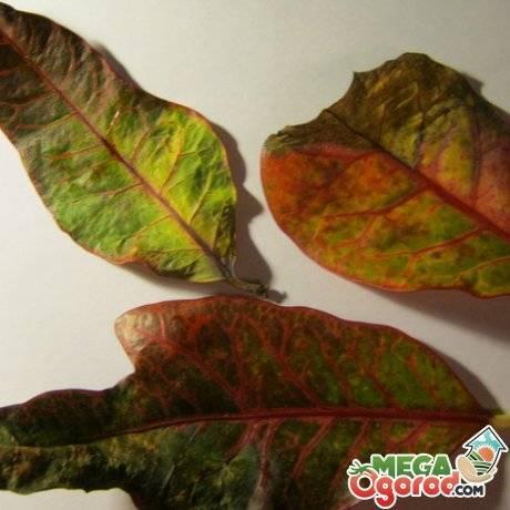 Что делать, если у кротона опадают листья?