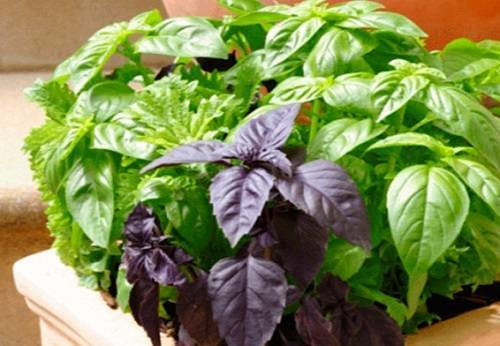 Базилик: как сажать семенами