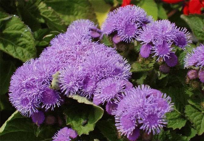 Агератум: выращивание из семян рассадой, посадка и уход в саду