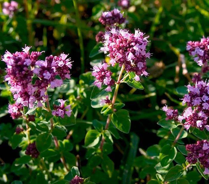 Выращивание душицы: способы размножения, уход и сбор урожая