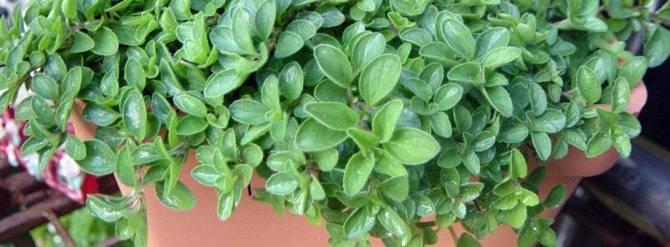 Как вырастить майоран из семян в домашних условиях?