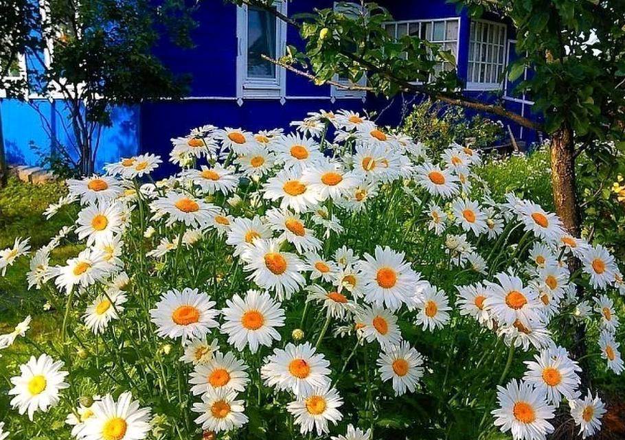 Многолетняя садовая ромашка: посадка и уход
