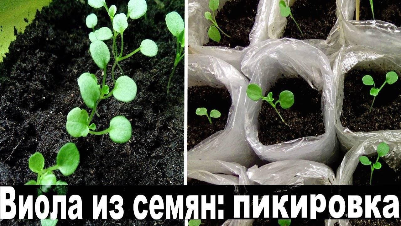 Выращивание виолы в домашних условиях, посадка и уход в открытом грунте