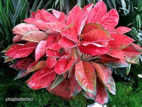 Аглаонема — виды с фото и описание прекрасного комнатного цветка