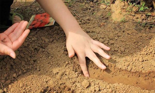 Пошаговые инструкции посадки редиса в открытый грунт, в теплице и дома. особенности выращивания корнеплода