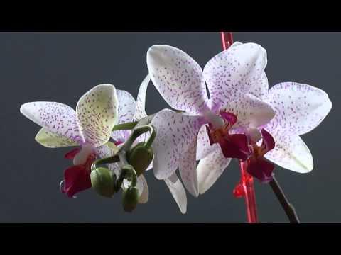 Болезни листьев фаленопсисов