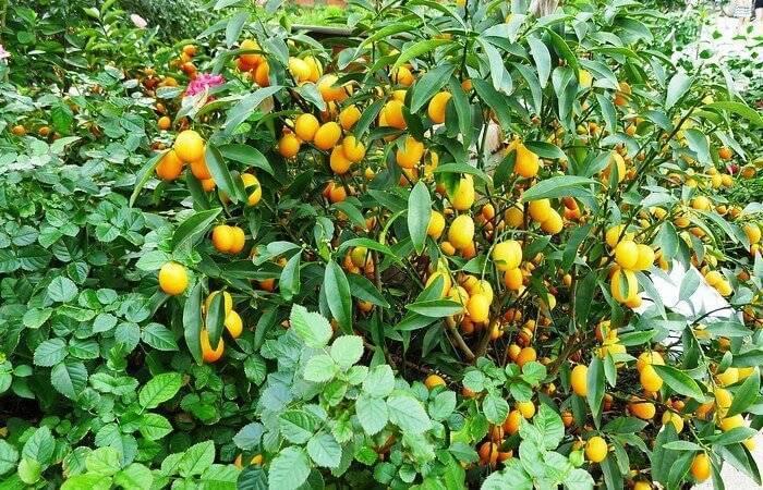 """Кумкват """"золотой апельсин"""" --  секреты выращивания в домашних условиях"""