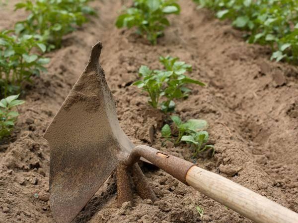 Как часто поливать картофель в открытом грунте