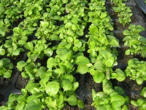 Лобелия выращивание из семян