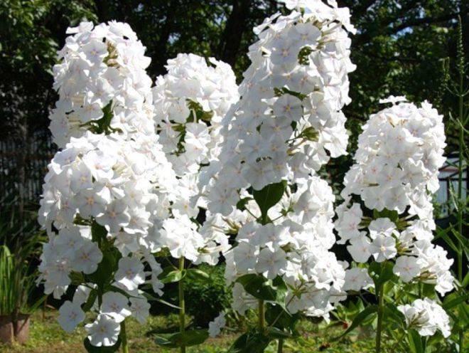 Правила и сроки выращивания флоксов в домашних условиях