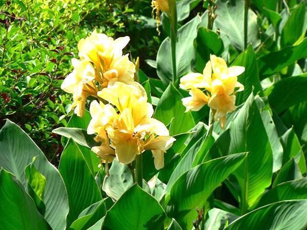 Цветок канна: виды и сорта