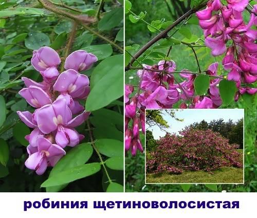 Розовая акации — робиния клейкая, экзотичная в период цветения, украсит сад даже в средней полосе.