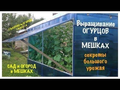 Выращивание огурцов в мешках: пошаговая инструкция посадки и ухода за огурцами