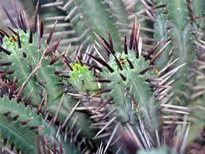 Виды цветущих кактусов и особенности цветения