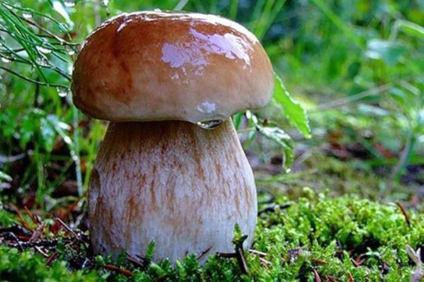 Белый гриб – царь среди грибов