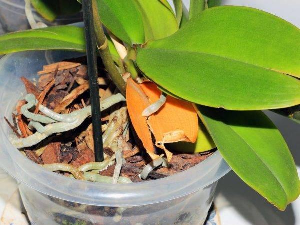 Результативная реанимация орхидеи без листьев в домашних условиях
