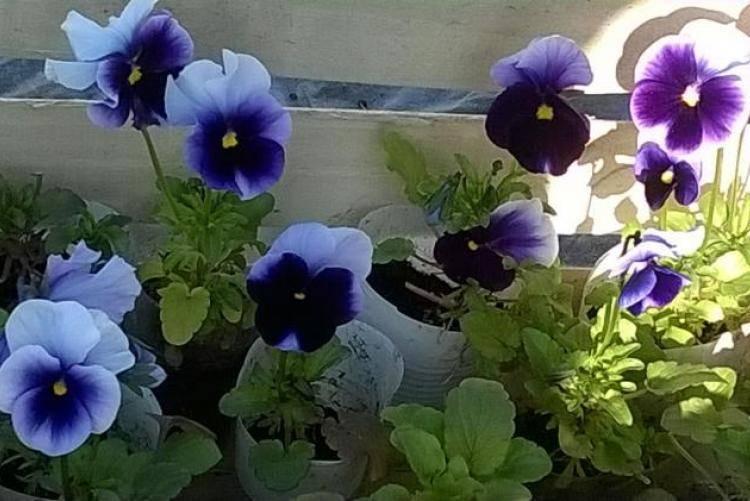 Выращивание виолы из семян