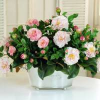 Цветок камелия: виды и сорта, посадка и уход в домашних условиях, фото