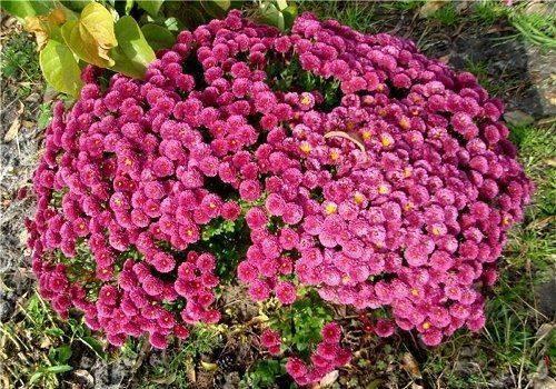 Сорта многолетних хризантем с фото — особенности ухода и садовой посадки