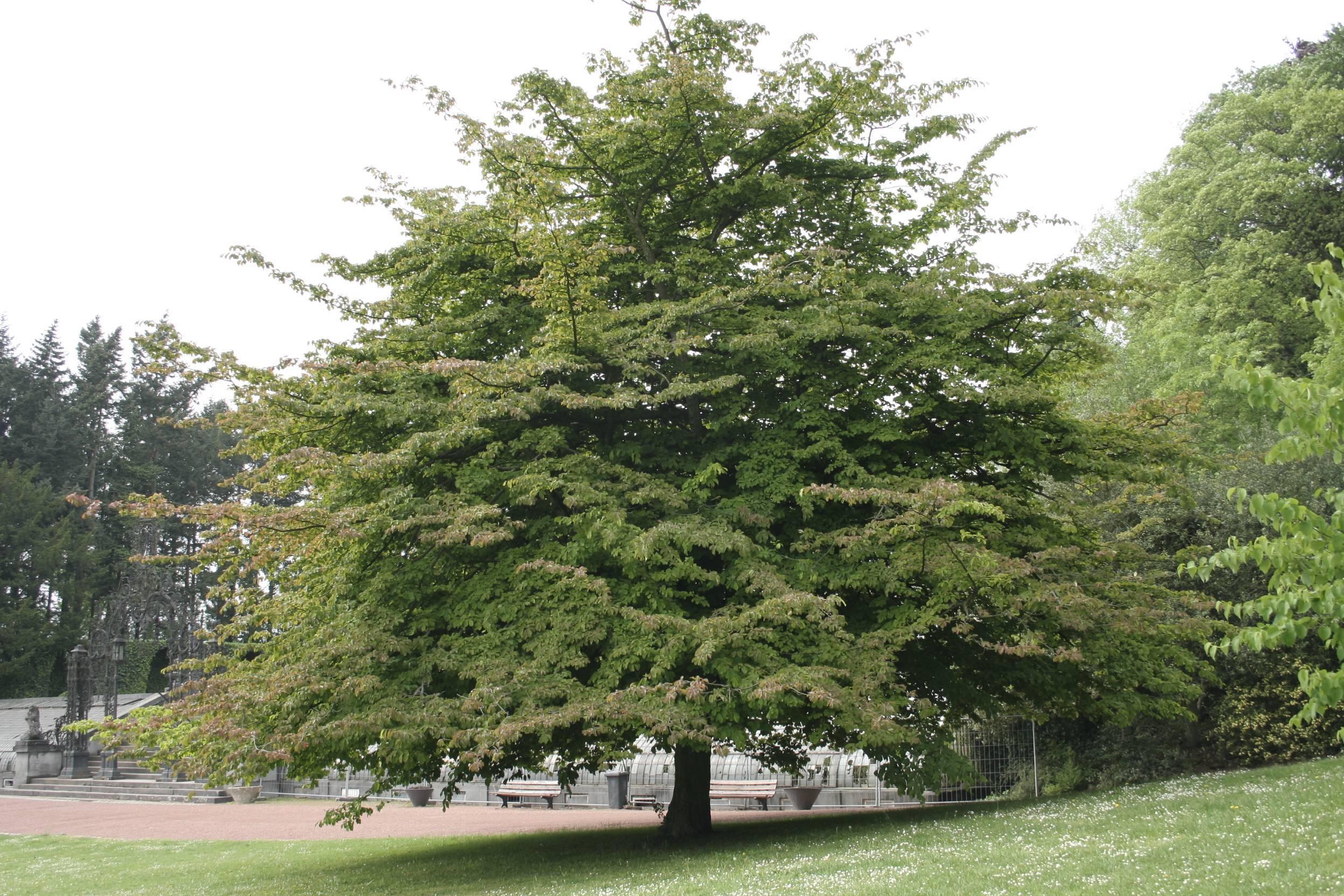 Железное дерево, или береза шмидта: описание растения, особенности древисины