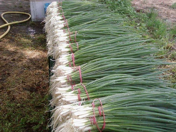 Удобрения при посадке помидор в теплицу