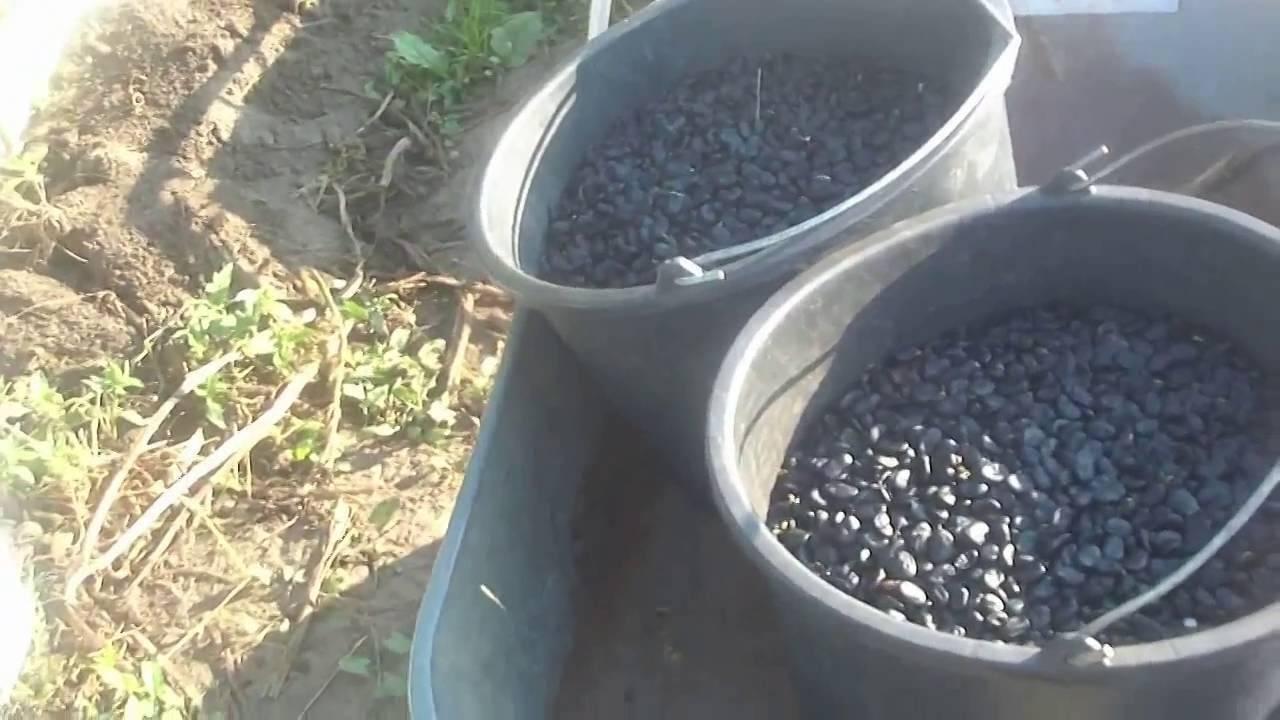 Посадка, выращивание и уход за бобами в открытом грунте, когда собирать и как сохранить на зиму