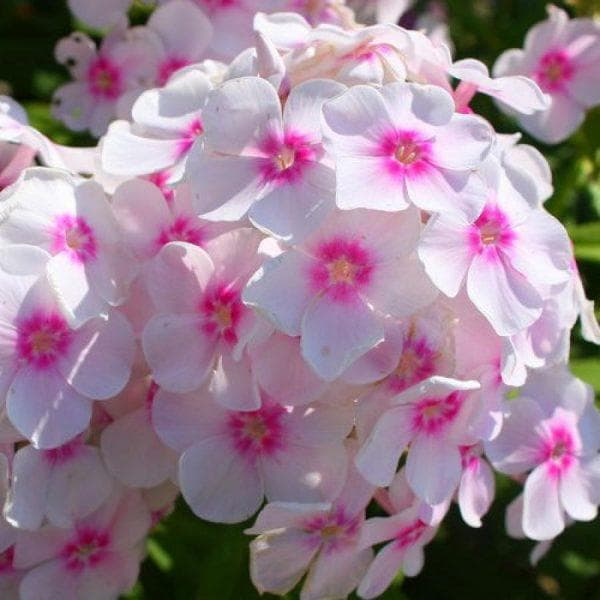 Посадка семян многолетних флоксов на рассаду: правила ухода и выращивания