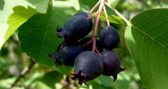 Способы размножения жимолости: черенками, отводками, делением куста, семенами