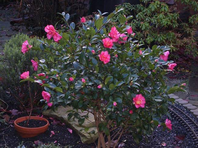 Как посадить, вырастить и ухаживать за цветами садовой камелии в домашних условиях
