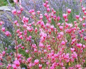 Цветочная культура кларкия: посадка и уход в открытом грунте, фото, тонкости выращивания однолетнего кустарника