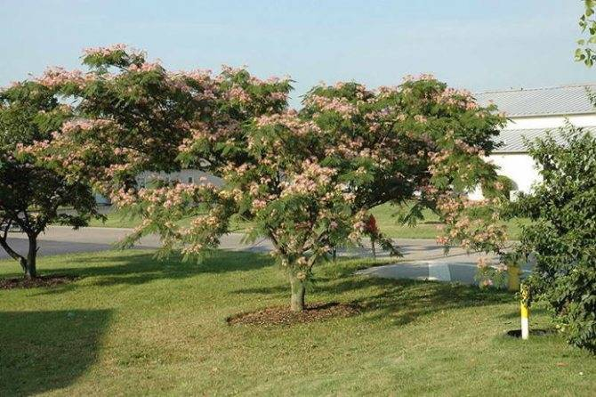 Альбиция ленкоранская: выращивание из семян и уход