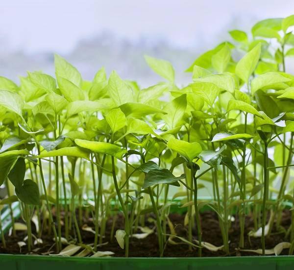 Как работает регулятор роста растений коренастый
