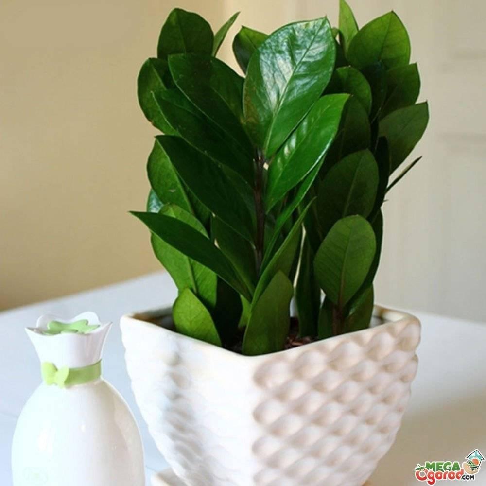 Как ухаживать за цветком замиокулькас в домашних условиях?