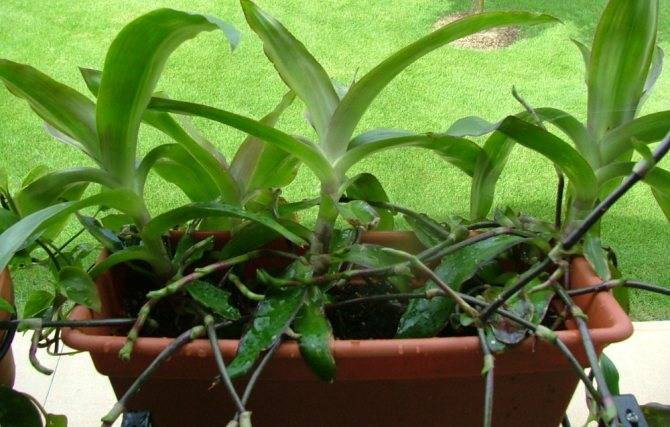 Золотой ус: выращивание и применение