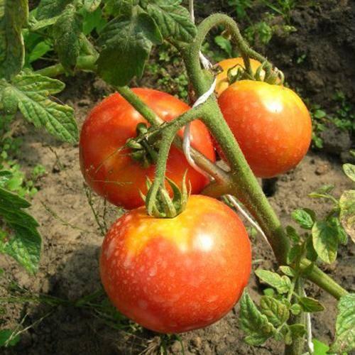 Сорта томатов: дубрава (дубок)