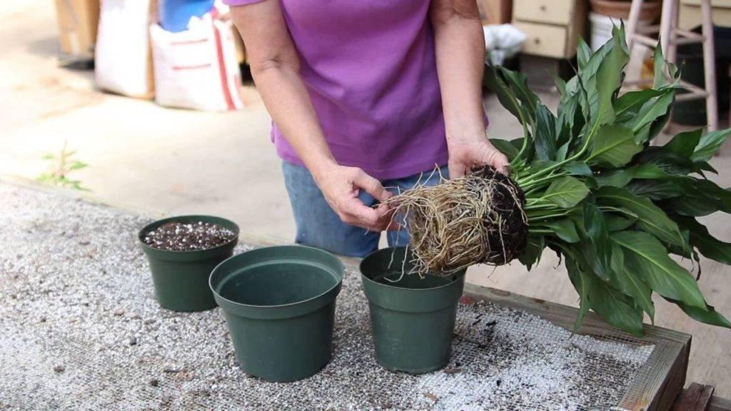 Выращиваем дома пеларгонию душистую