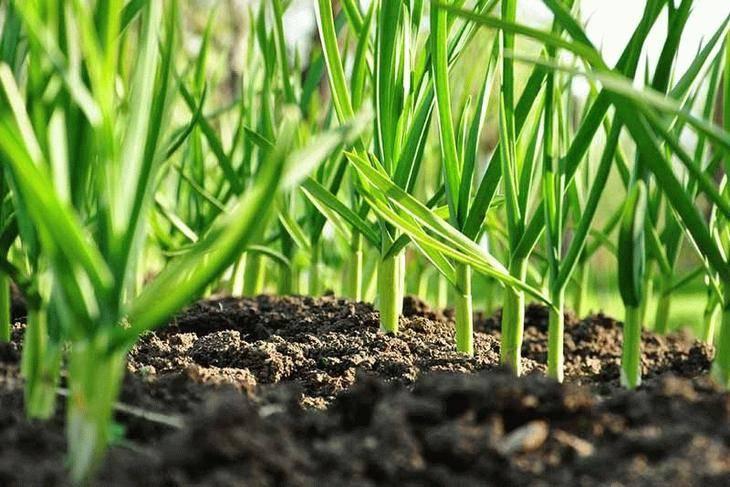 Целебные и полезные сорняки на дачных участках