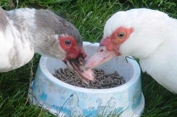 Утки мускусные: пособие по содержанию в домашних условиях