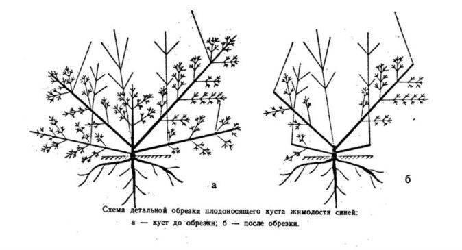 Сорта, описание, агротехника выращивания татарской жимолости