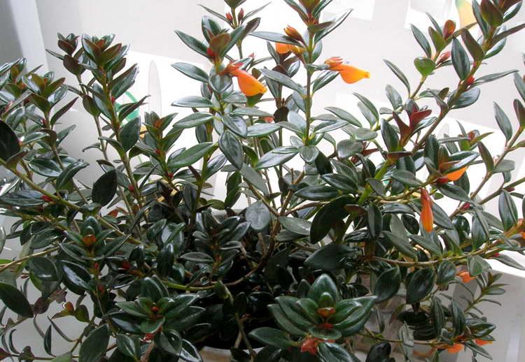 Правильный уход в домашних условиях за цветком нематантус
