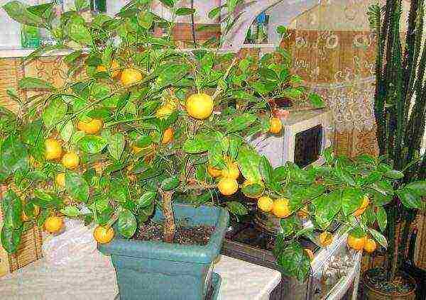 Как выращивать мандарин из косточки и уход за деревом